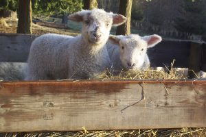 Windsor Farm - lamb