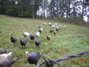 Windrush Farm turkeys