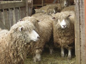 Windrush Farm sheep