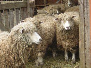 Windrush Farm sheep