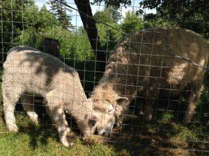 Shepherd's Purse Farm lamb