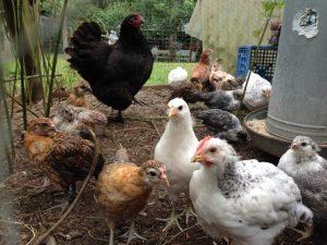 Sherpherd's Purse Farm eggs